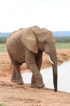 Elephant, Pachyderm, Ivory, Africa, Animal, Safari