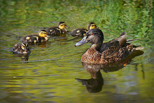 Duck, Mallard, Animal, Female, Chick, Young, Plumage