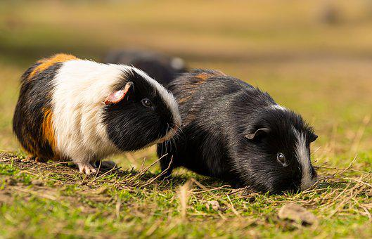 Animal, Small, Pet, Sea Pig, Cute, Animal World, Mammal