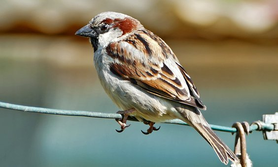 Nature, Animals, Birds, Sperling, Sparrow, Wire, Light