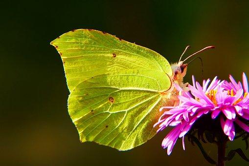 Listkowiec Sulphur Butterfly, Butterfly Day, Antennae