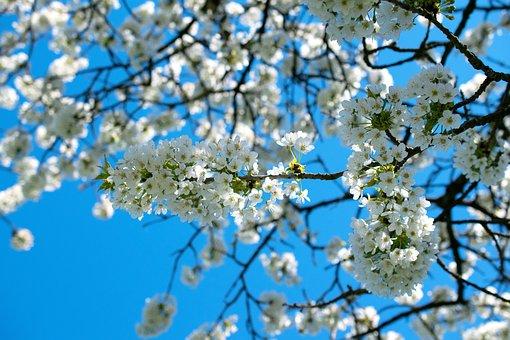 Apple Tree Blossom, Apple Tree, Spring, Blossom, Bloom