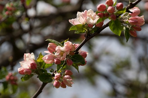 Nature, Apple Blossom, Spring, Apple Tree, Branch