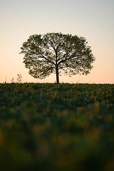 Tree, Sunrise, Arable, Field, Old Tree