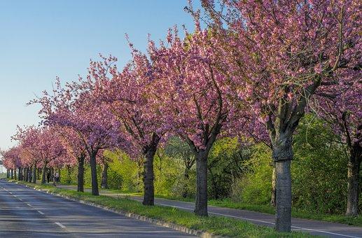 Cherry Blossom, Wooden Track, Magdeburg, Banner, Spring