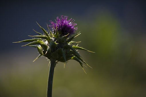 Thistle, Flower, Nature, Plant, Barbed, Summer, Flora