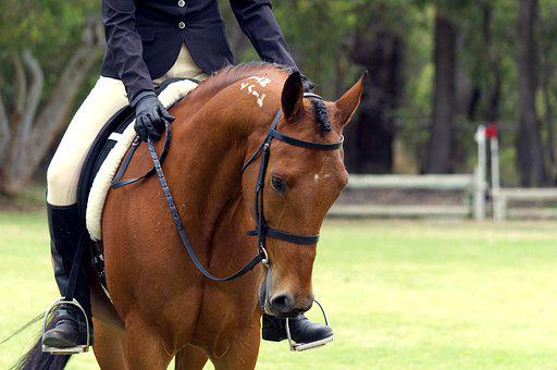 Horse, Standardbred, Bay, Show, Pacer, Head, Equine