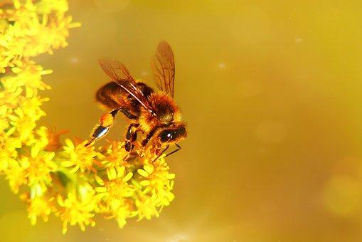 Bee Miodna, Food, Nectar, Apiformes, Flower, Animals