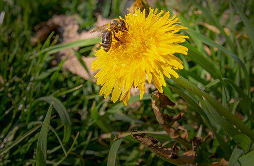 Dandelion, Bee, Pollen, Pollination, Landing
