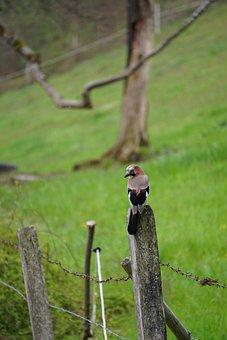 Jay, Bird, Fence, Animals, Plumage, Bird Watching