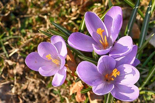 Crocus, Spring, Flower, Nature, Blossom, Bloom
