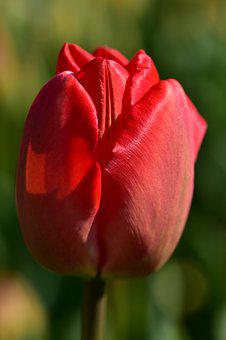 Tulip, Red, Spring, Flower, Blossom, Bloom, Nature