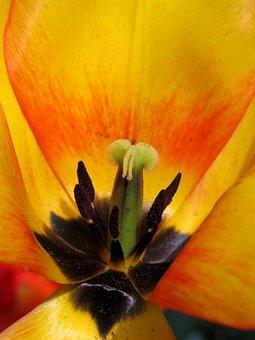 Tulip, Blossom, Bloom, Blushing Apeldoorn