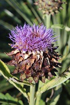 Globe Artichoke, Purple, Plant, Bloom, Nature, Flower