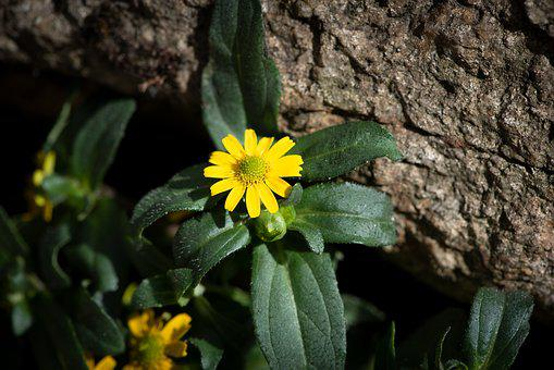 Hussars Brains, Yellow, Flower, Blossom, Bloom, Nature