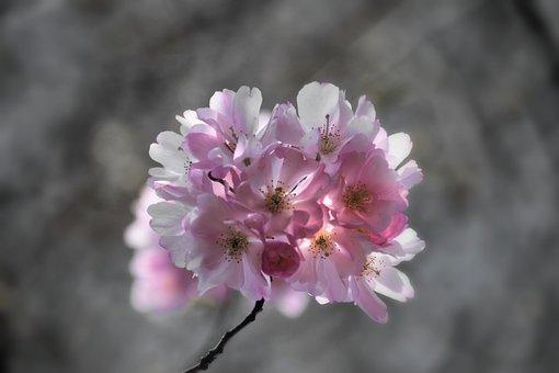 Cherry Blossoms, Cherry Tree, Tree, Nature, Blossom
