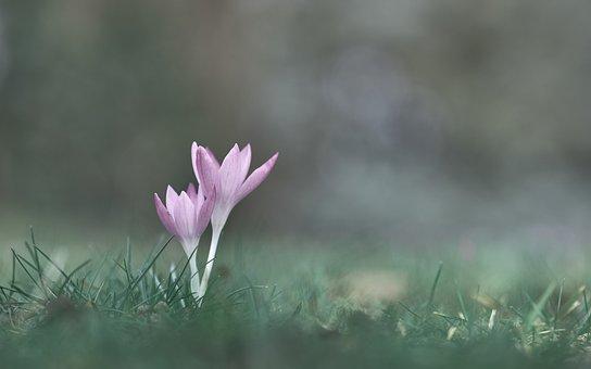 Spring, Crocus, Nature, Flower, Plant, Purple, Blossom