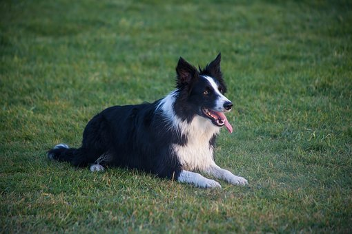 Border Collie, Sitting, Patient, Happy, Dog