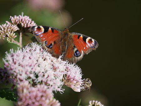 Butterfly, Bad Laer In The Summer, Flower Meadow
