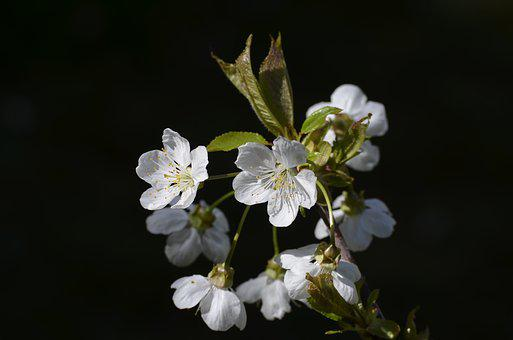 Cherry, Cherry Blossom, Cherry Tree, Tree