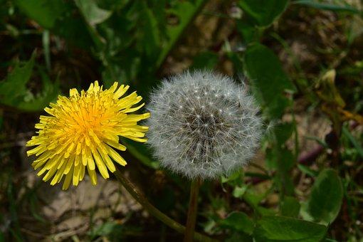 Dandelion, Egret Dandelion, Green Leaves Dandelion