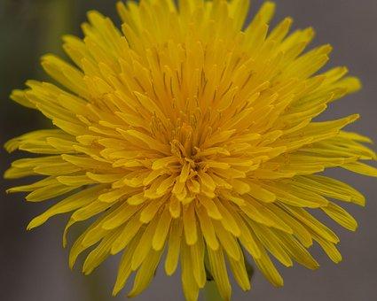 Dandelion, Blossom, Bloom, Plant, Nature, Flower, Flora