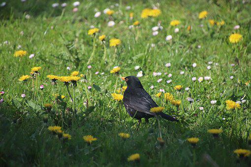 Merle, Birds, Blackbird, Dandelions, Dandelion Flowers