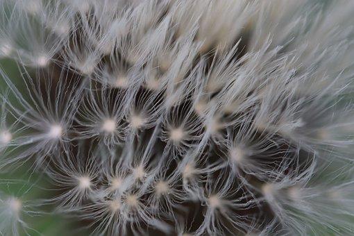 Egrets Of Dandelions, Dandelions, Blooms, Seeds Texture