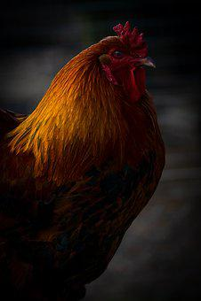 Animal, Hahn, Bird, Poultry, Farm, Cockscomb, Bill