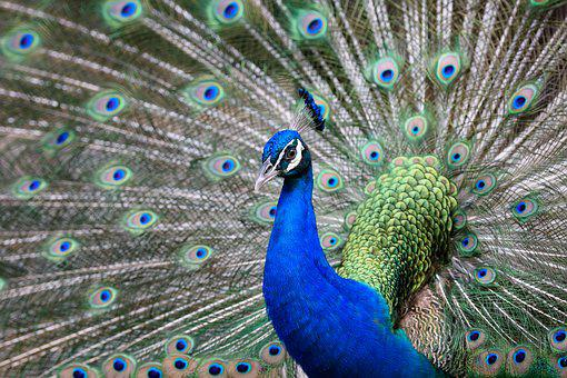 Peacock, Bird, Animal, Feather, Nature, Colorful