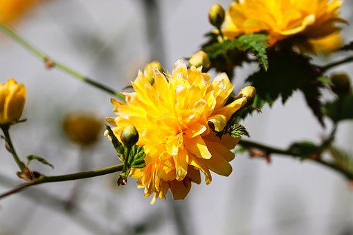 Ranunkel Shrub, Blossom, Bloom, Filled, Kerria Japonica