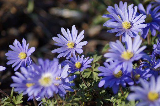 Anemone Blanda, Flower, Anemone, Blue, Spring