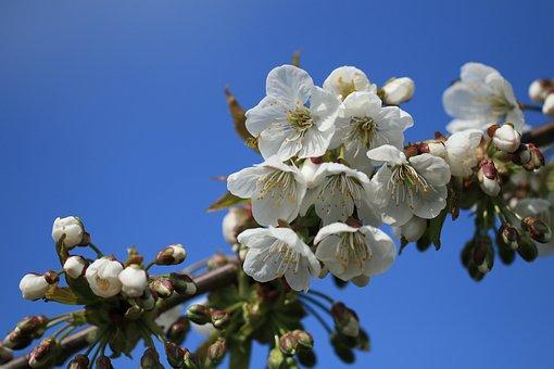 Cherry Blossom, Cherry Tree, Blossom, Flowers, Bloom