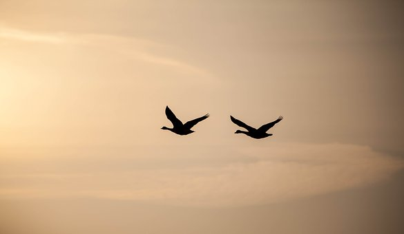 Geese In Flight, Sunrise, Geese, Silhouette, Birds