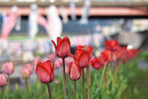Natural, Landscape, Plant, Flowers, Tulip, River