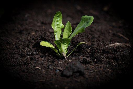 Lettuce Seedling, Garden, Vegetable Garden, Green