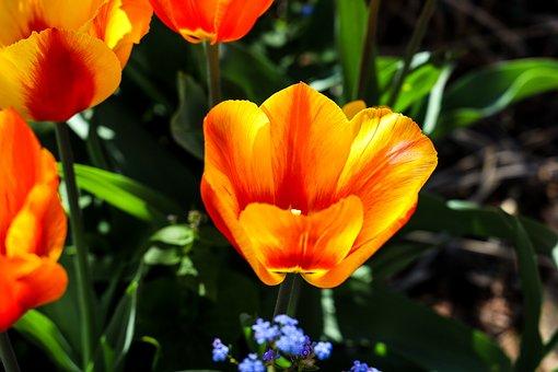 Tulip, Bright Red, Flowers, Macro, Spring, Easter