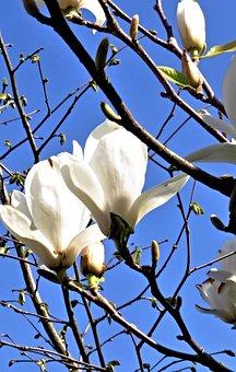Magnolia, Magnolia Tree, Spring, White Flowers, Large