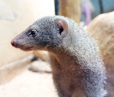 Mongoose, Rodent, Animal, Cute, Mammal