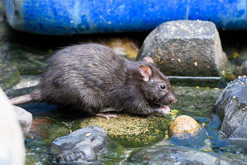 Mouse, Animal, Cute, Pet, Nature, Brown