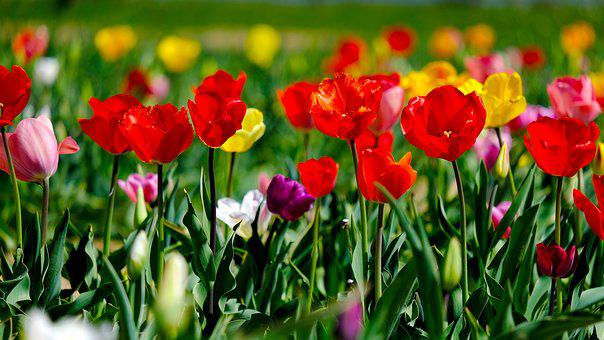 Tulips, Colorful, Flowers, Bloom, Spring, Nature