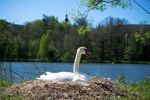 Swan, Nest, Swan's Nest, Water Bird, Mute Swan, Nature