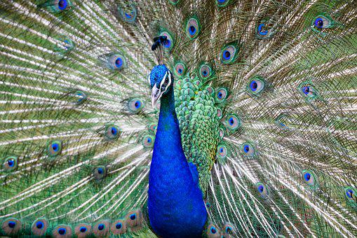 Peacock, Bird, Animal, Feather, Nature, Colorful, Color