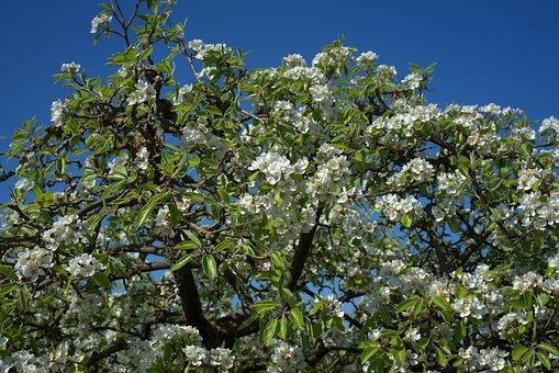 Pear Tree, Pear Blossom, Spring, Pear, Garden, Blossom