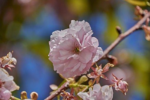 Cherry, Pollen, Tree, Flower, Petals