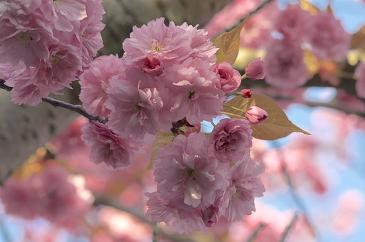 Cherry Blossom, Banner, Spring, April, Pink, Macro