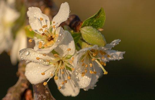 Plum Blossoms, Plum Tree, Prunus Domestica, Dewdrop