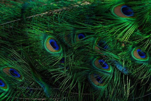 Animal, Plumage, Blue Peacock, Peacock, Beautiful