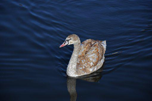 Swan, Water, Bird, Young, White, Brown, Nature, Pond