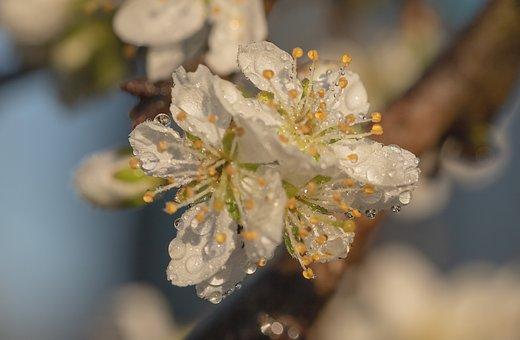 Raindrop, Plum Blossoms, Plum Tree, Prunus Domestica